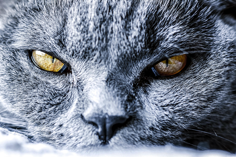 Katzenaugen einer Britisch Kurzhaar Katze