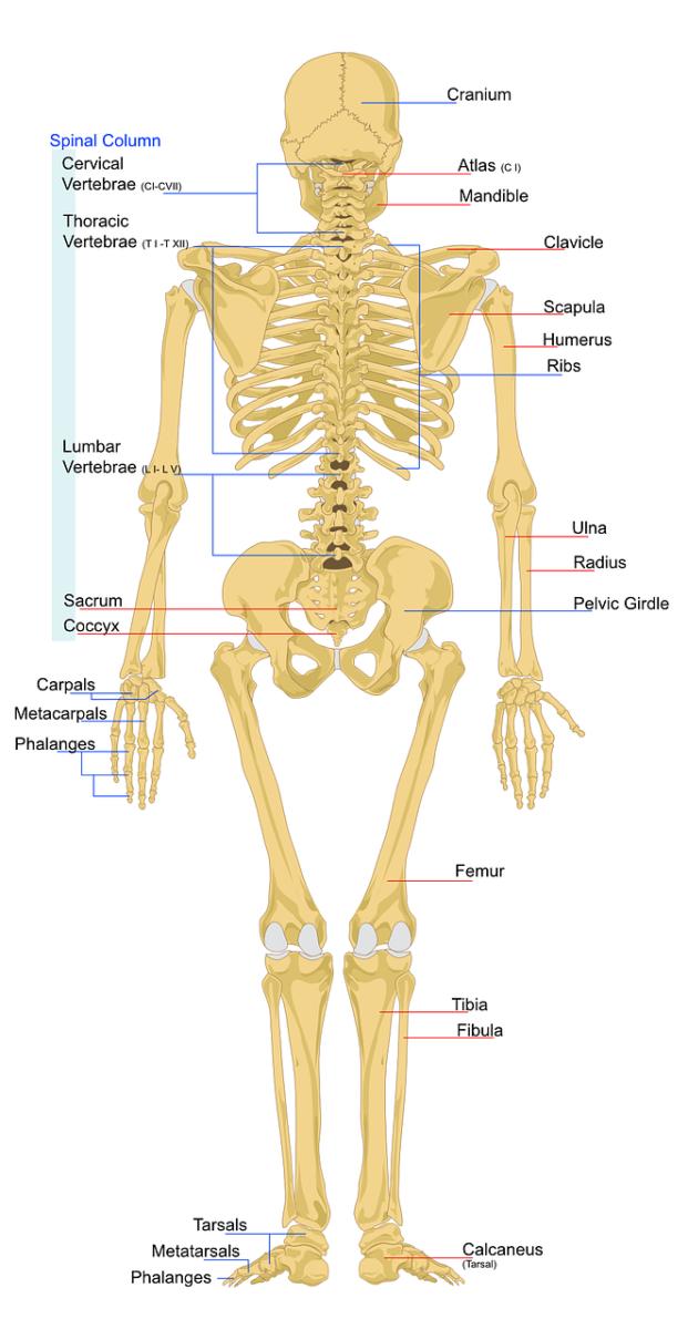 Skelett mit Beschreibung der Knochen
